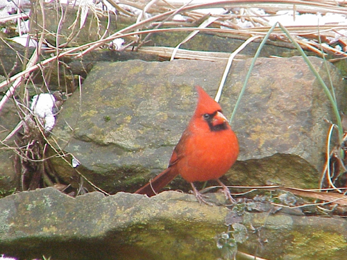 Cardinal by Sally Ramsdell