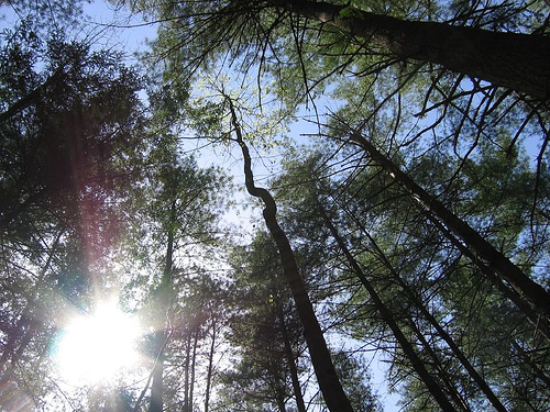 An inspiring skyward view through the treetops. Pine grove, Red River Gorge, Kentucky