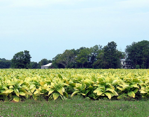 Tobacco farm Nelson County Kentucky
