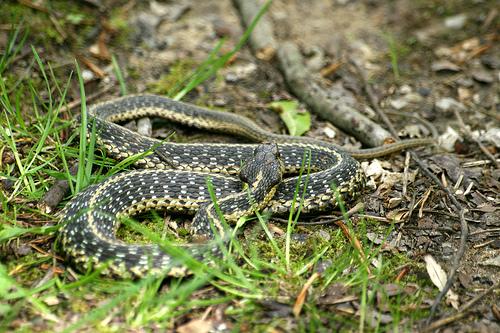 Garden Snake Pictures | snake