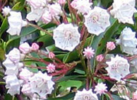 earth healing mountain laurel