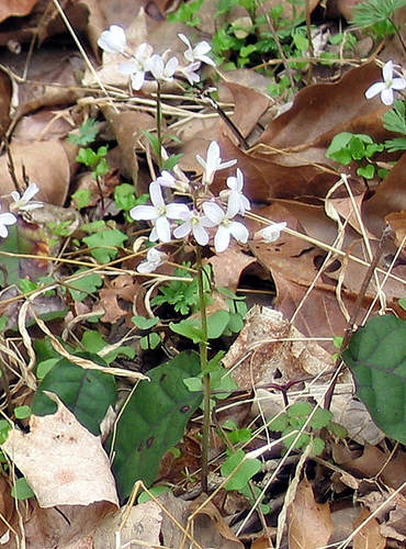 purple cress Cardamine douglassii Bluegrass Kentucky